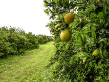 Orange orchard. With leaves and fruits infected with plague royalty free stock images
