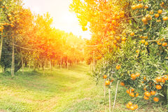 Orange orchard in morning. Orange orchard in northern Thailand in morning stock photo