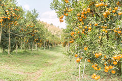 Orange orchard. In northern Thailand royalty free stock image