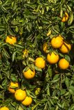 Orange orchard. On a farm in Araraquara royalty free stock photography