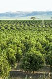 Orange orchard. On a farm in Araraquara Stock Photo