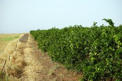 Orange orchard. And field in Israel royalty free stock photo