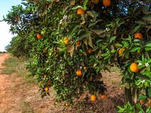 Orange orchard. In Sao Paulo State stock images