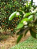 Orange orchard. In Sao Paulo State royalty free stock photography