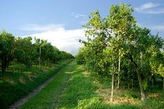 Orange orchard Royalty Free Stock Image