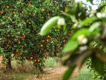 Orange orchard. In Sao Paulo State stock photography