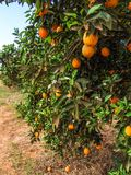 Orange orchard. In Sao Paulo State royalty free stock images