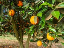 Orange orchard. In Sao Paulo State royalty free stock photo