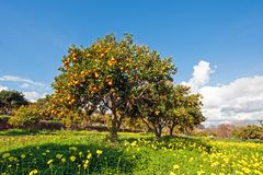 Orange orchard in spring in Portugal. Eruope Stock Image