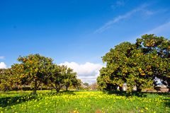 Orange orchard in spring in Portugal. In  Europe Royalty Free Stock Photos