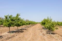Orange orchard Stock Image