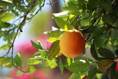 Orange orchard tree Royalty Free Stock Image