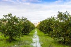 Orange Orchard, Turkey Royalty Free Stock Image