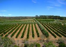 Orange orchards royalty free stock photography