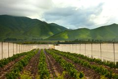 Orange orchards at Elqui Valley royalty free stock photos