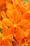 Orange orchid Royalty Free Stock Image