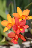 Orange orchid Royalty Free Stock Photography