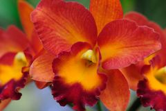 orange orchid Royaltyfri Bild