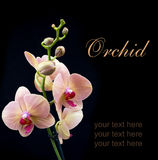 Orange orchid Stock Image