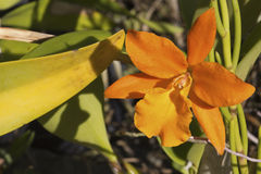 Orange orchid Stock Photo