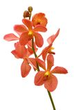 Orange Orchid Stock Photography