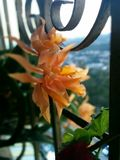 orange orchid Royaltyfri Foto