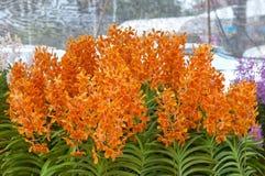 orange orchid Arkivbild
