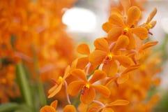 orange orchid Royaltyfri Foto