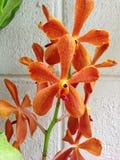 orange orchid Royaltyfria Foton