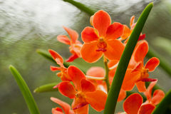 Orange Orchid. Of the Beautiful flowers in Thailand Stock Photography