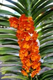 Orange Orchid. Beautiful Orange orchid  in the Thailand Royalty Free Stock Photography