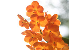 Orange orchid. Are blooming in the garden Stock Photos