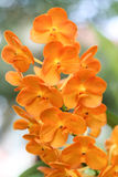 Orange orchid. Are blooming in the garden Stock Images