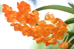 Orange orchid. Are blooming in the garden Stock Photography