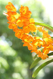 Orange orchid. Are blooming in the garden Royalty Free Stock Photos