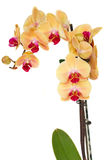 Orange  orchid branch Stock Image