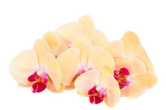 Orange  orchid branch Stock Images