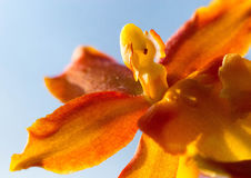 Orange orchid before bright sky Royalty Free Stock Images