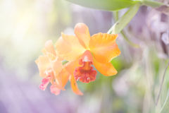 Orange orchid cattleya Royalty Free Stock Photo
