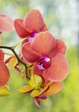 Orange orchid Stock Photos