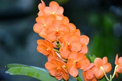 Orange Orchid Royalty Free Stock Images