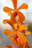 Orange orchid. Clouse-Up flower, Orange orchid Stock Image