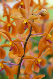 Orange orchid. Clouseup flower Stock Image