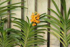 Orange orchid on fence. Detail of orange orchid on fence Royalty Free Stock Photo