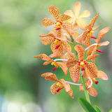 Orange Orchid Flower Royalty Free Stock Photos