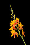 Orange orchid flower on black background Stock Image