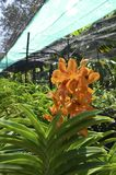 Orange orchid flower farm image. Orange orchid flower farm in tropical country image Stock Images