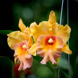Orange  orchid flower Royalty Free Stock Photo