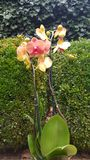 Orchid Flower in Garden Stock Photo