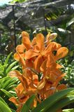Orange orchid flower image. Orange orchid flower farm in tropical country image Stock Photography
